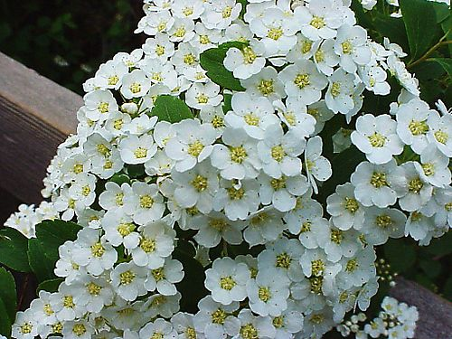 Winner_spirea_bloom_closeup_0529_2008