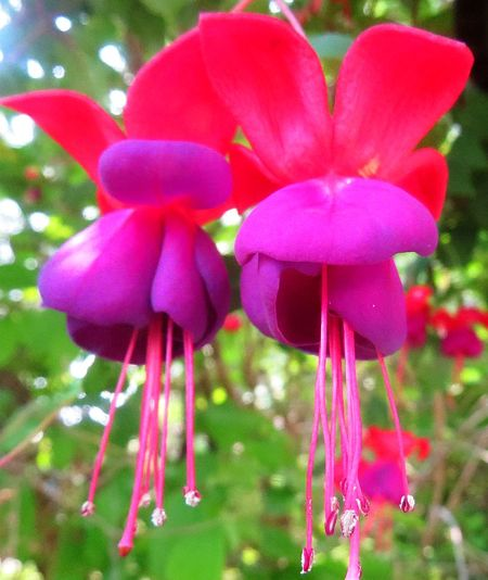 Flowers_Fuschia_Aug17_2013_850x1040_8IMG_1434