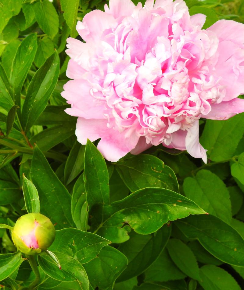 Peony bloom_May2017_DSCN2408